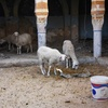 Goats 3, Synagogue, Gafsa, Tunisia, Chrystie Sherman, 7/11/16