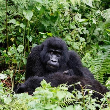 Gorilla Tracking & Batwa Cultural Experience Safari with Round-trip Transportation from Kampala