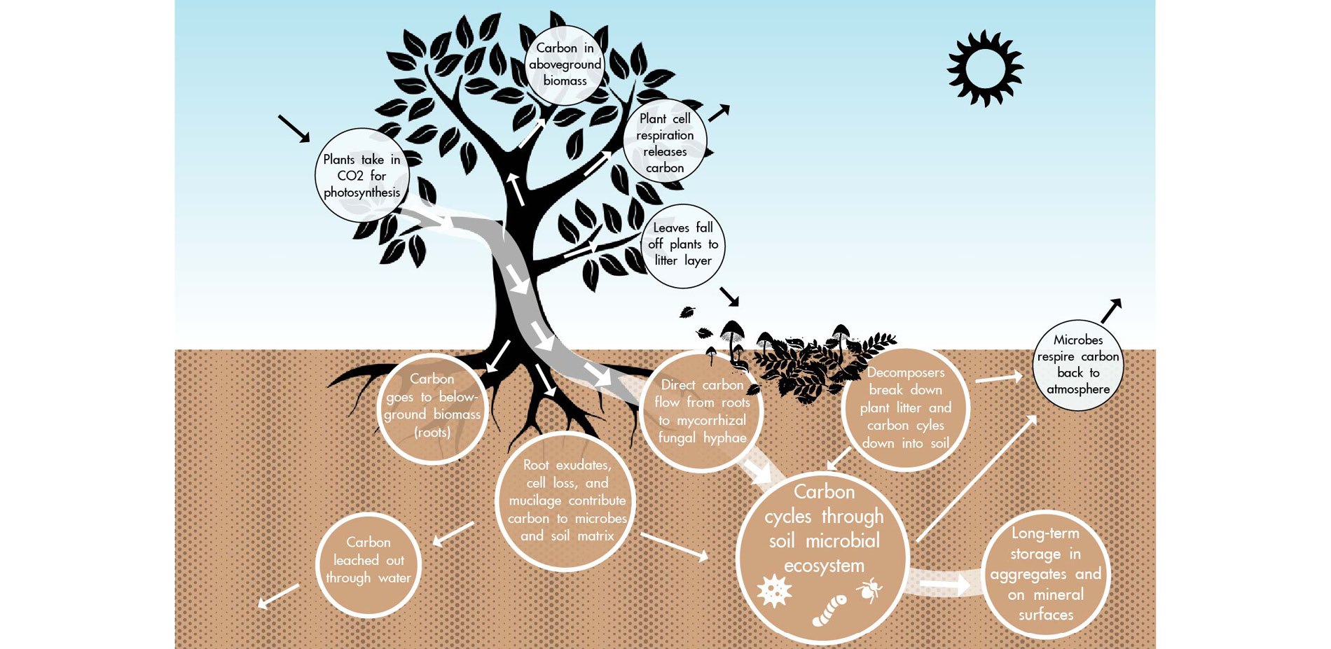 Soil Ecological Health: Process of Carbon Sequestration