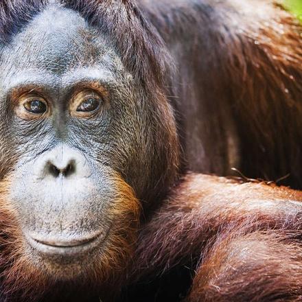 The beautiful Orang-utan