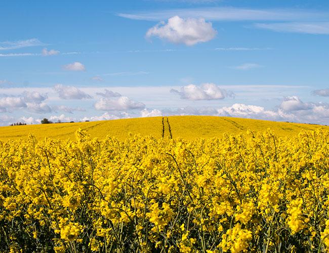 Rapeseed fields at Farrington Oils, Northamptonshire