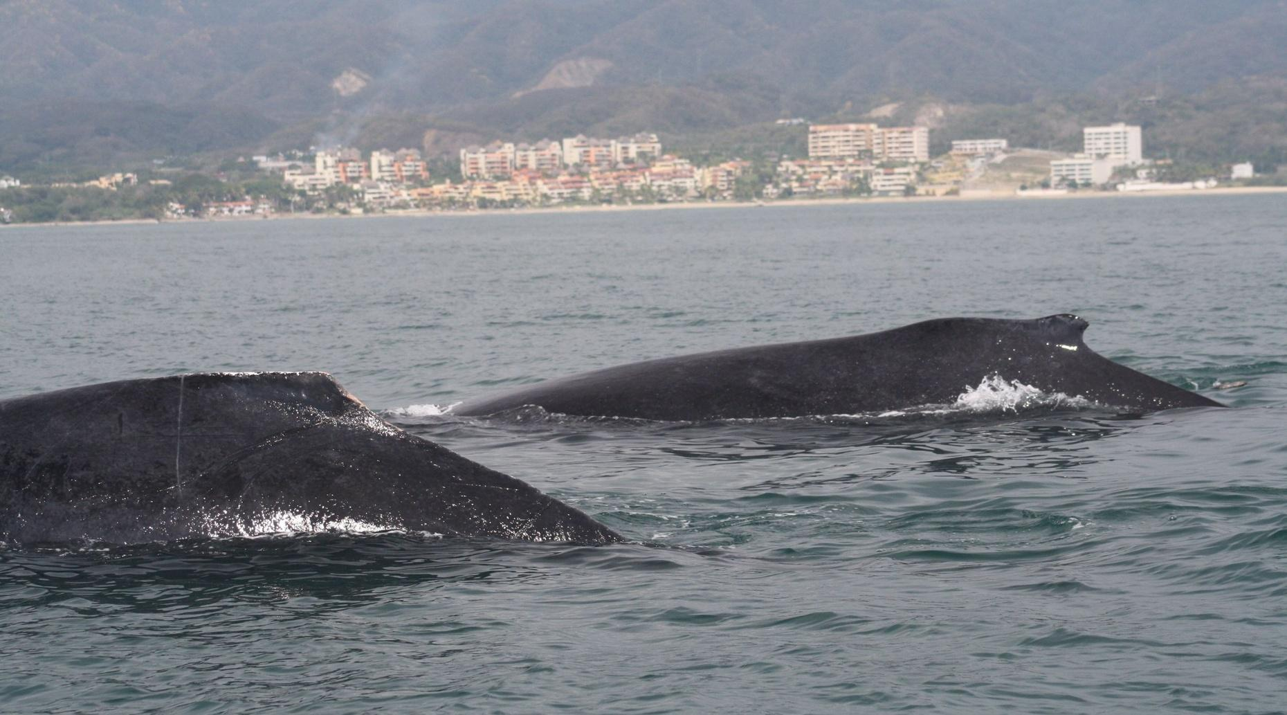 Shared Small Group Whale Watch Puerto Vallarta