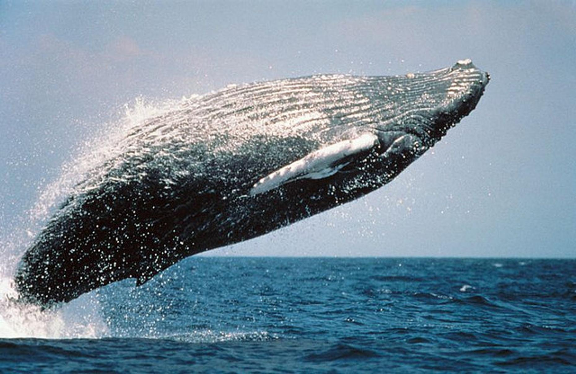 3-Day Humpback Whale-Watching Pass in Cabo