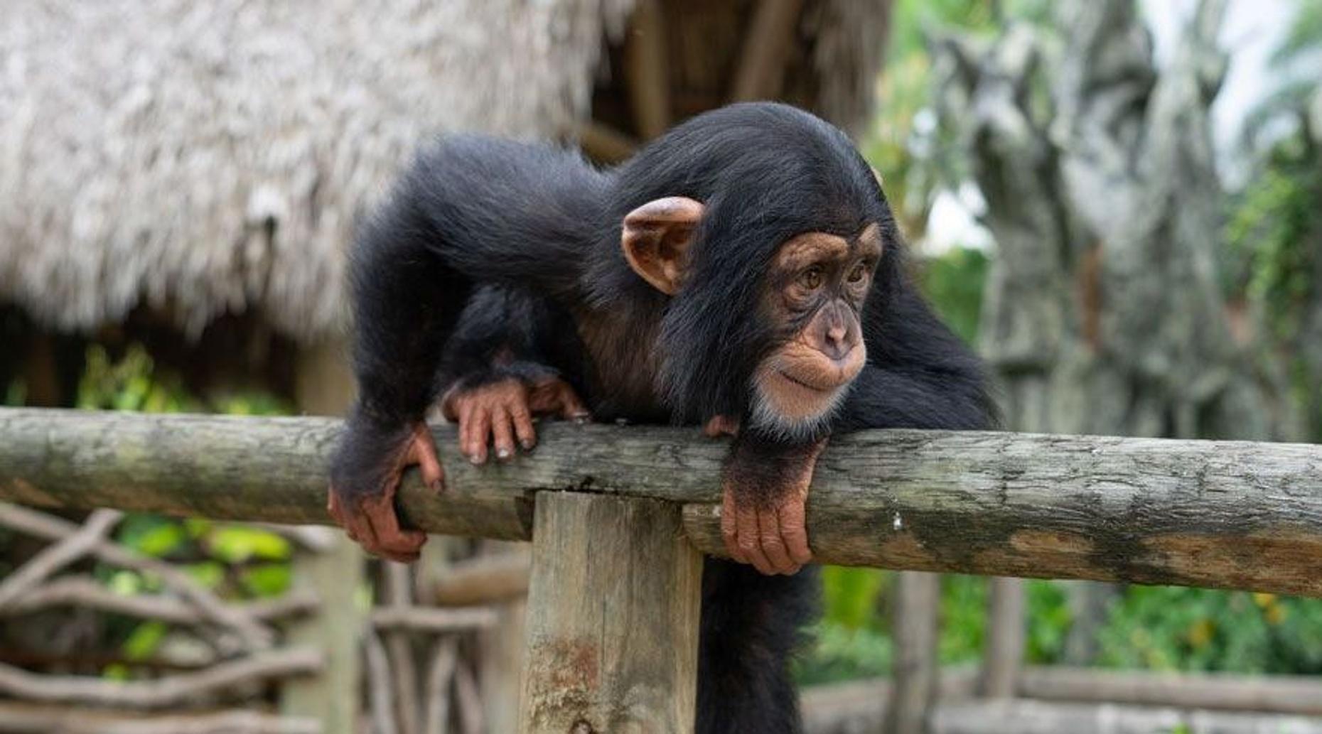 Chimpanzee Encounter