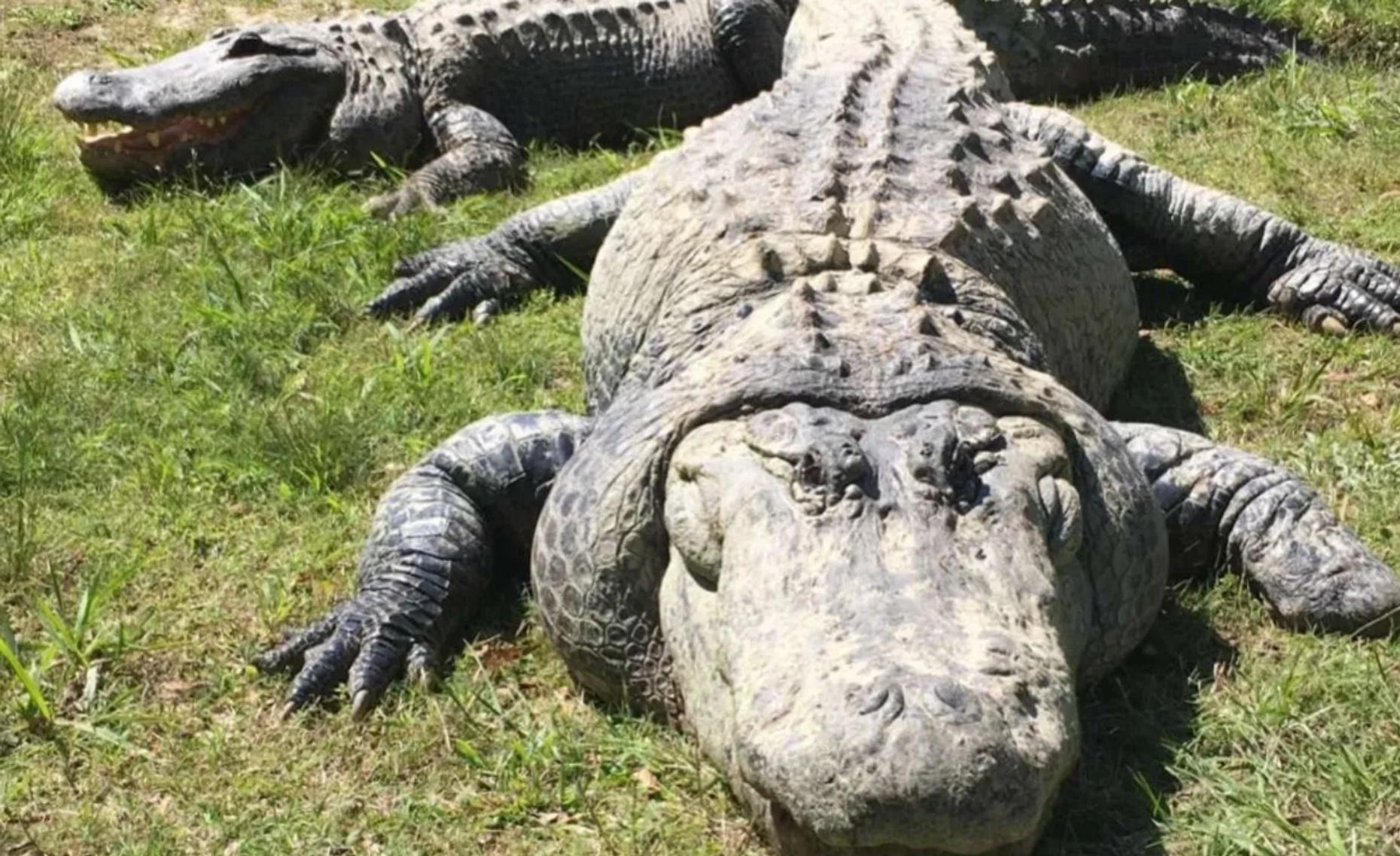 Hammond Alligator Swamp Tour