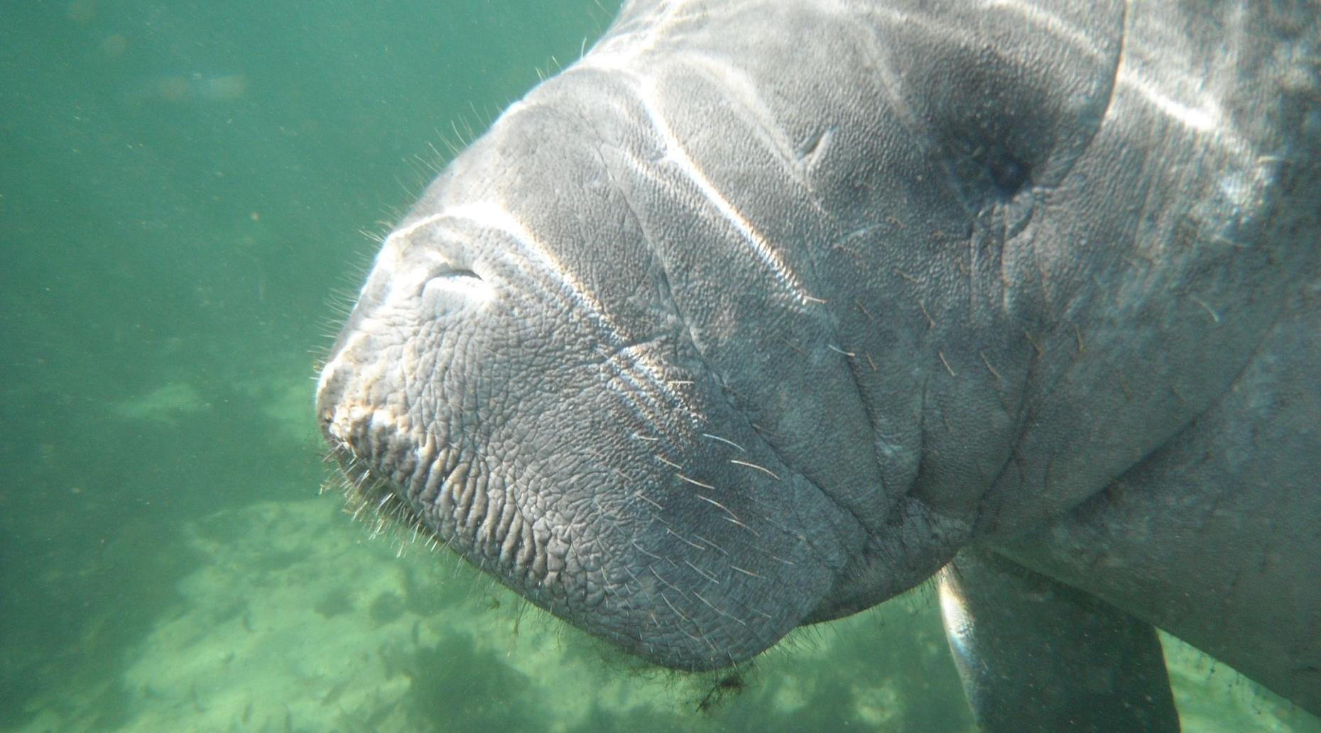 Semi-Private Crystal River Manatee Swim