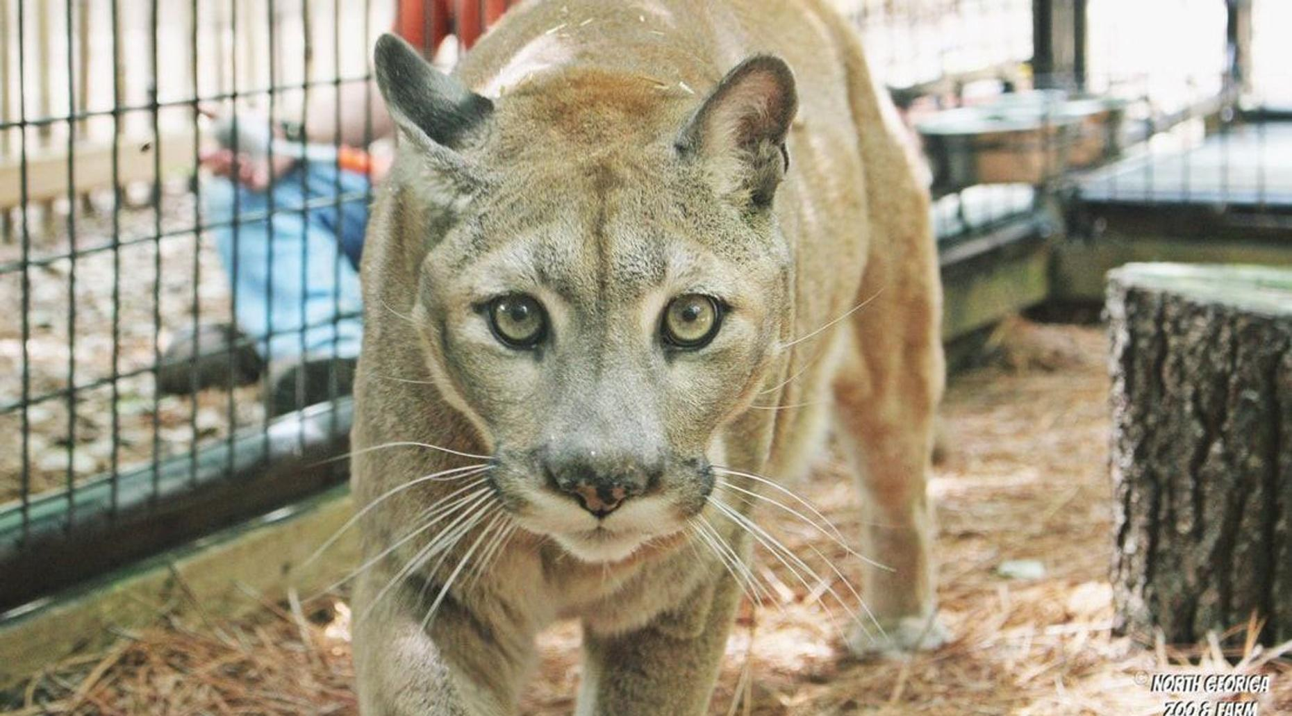 Cougar & Friends Encounter in Cleveland
