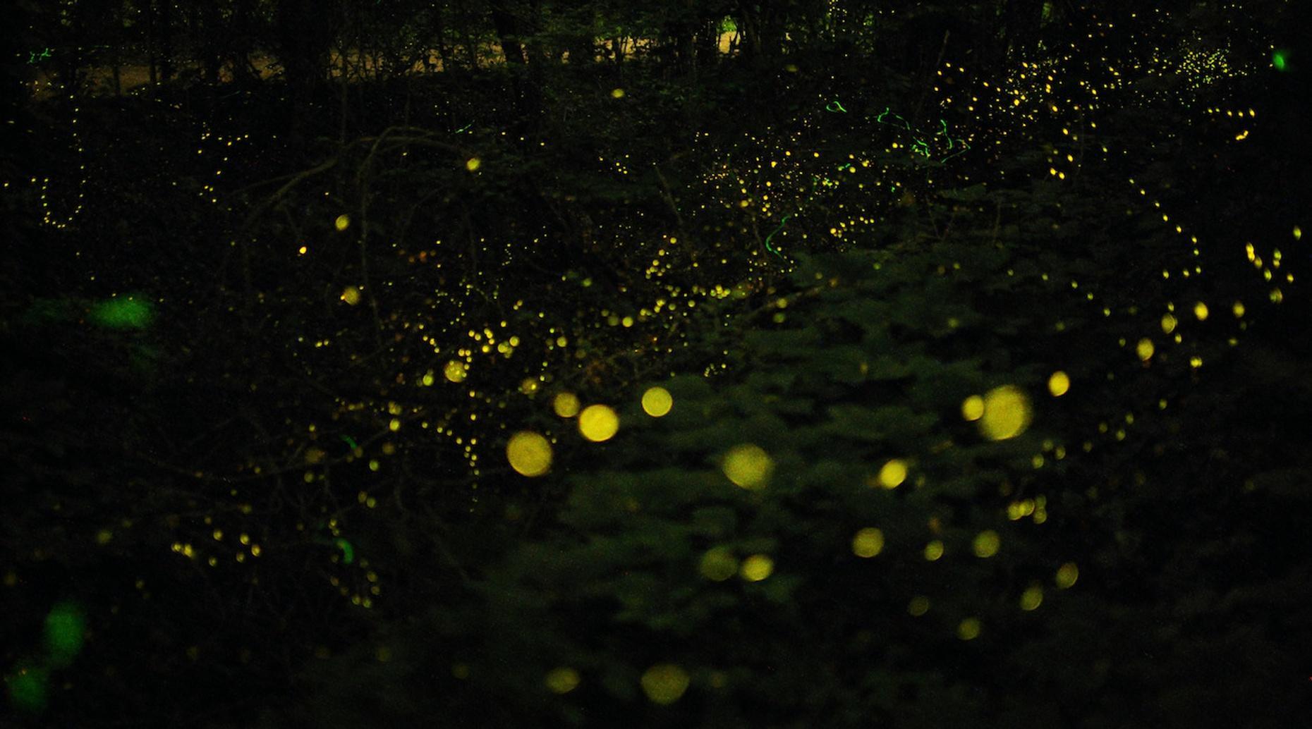 Custom Fireflies & Foxfire Night Walk in Burnsville
