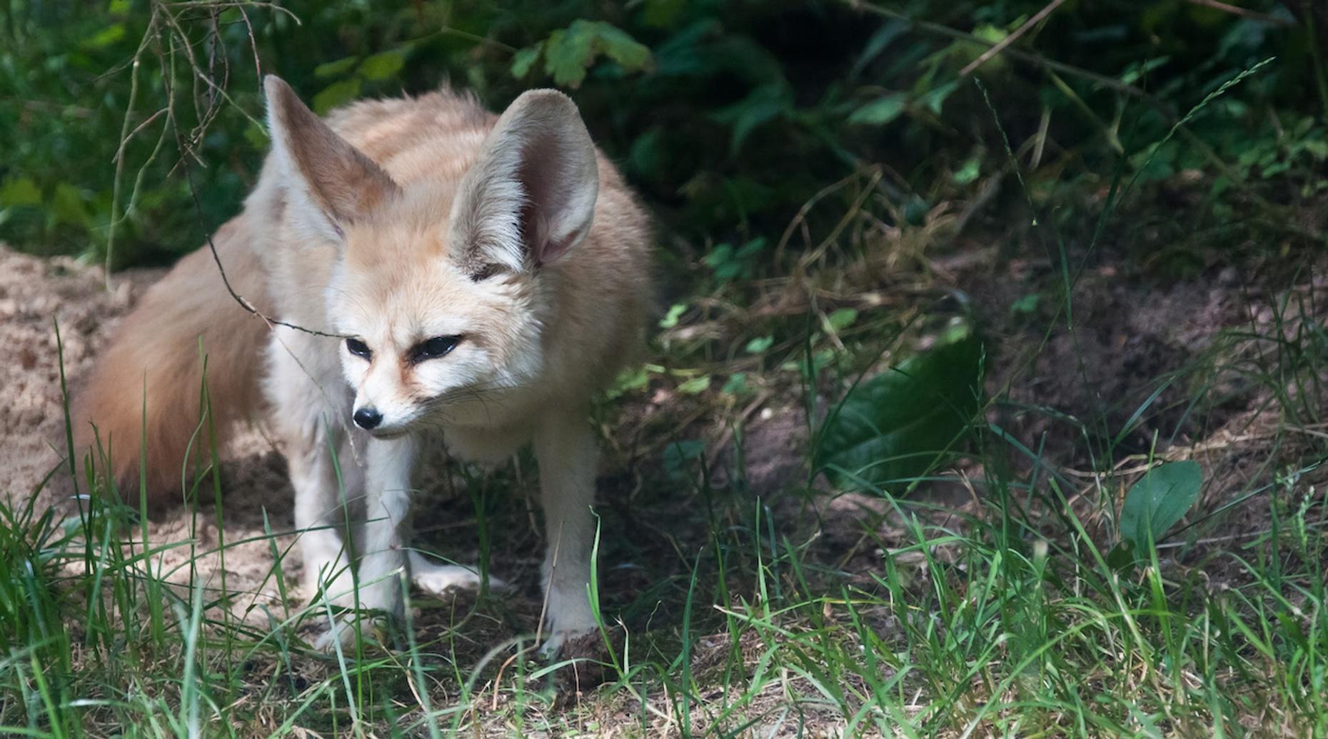 Fennec Fox & Friends Encounter in Georgia