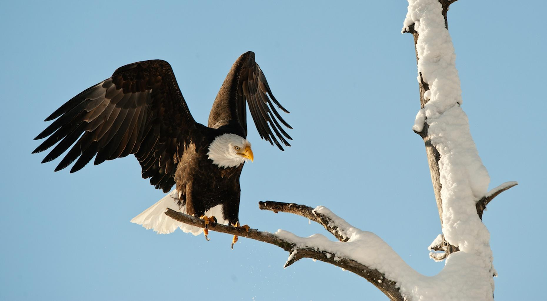 Skagit River Bald Eagle Float