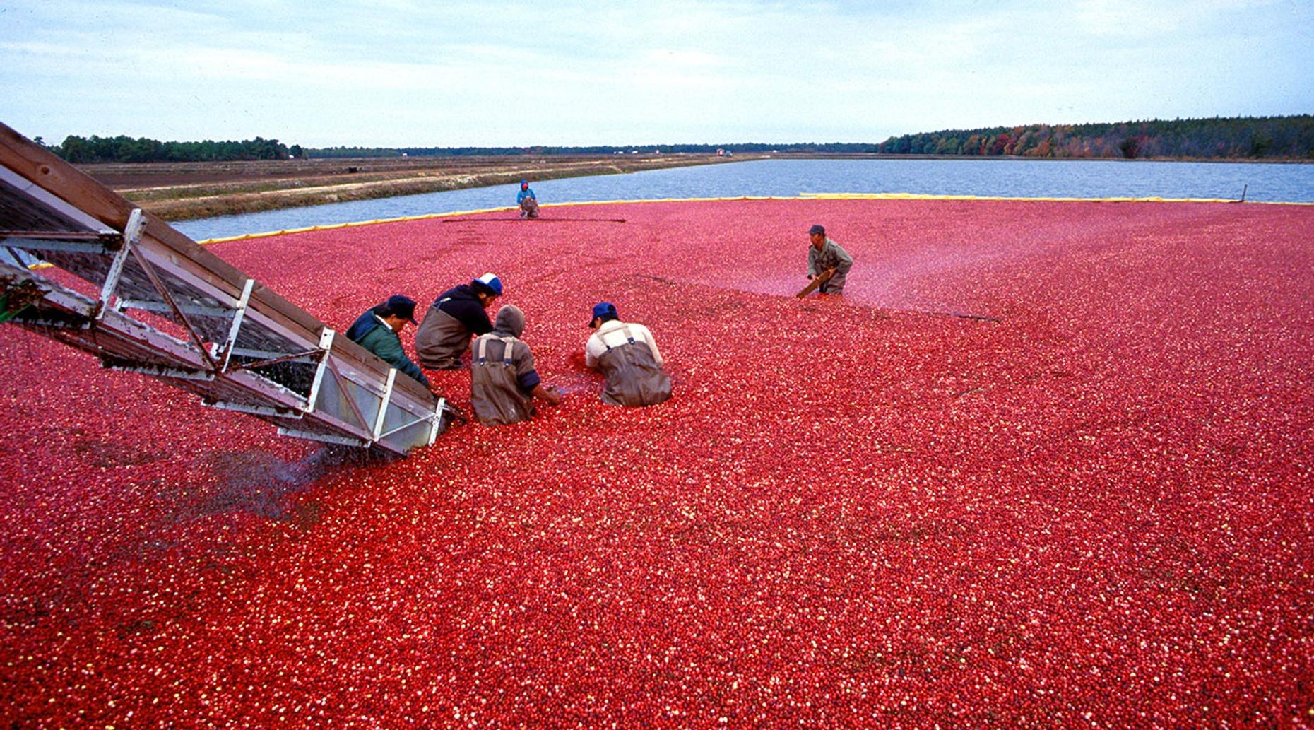 Cranberry Harvest Tour in Browns Mills