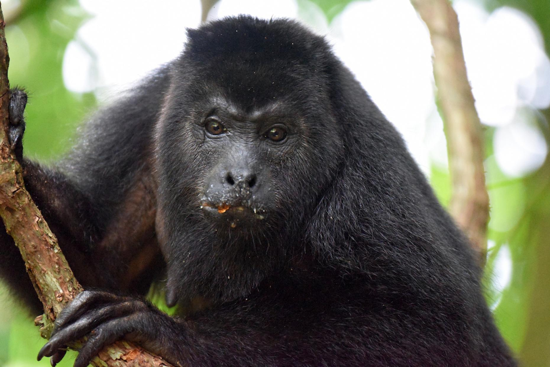 Private Howler Monkey Sanctuary Tour From Belize City