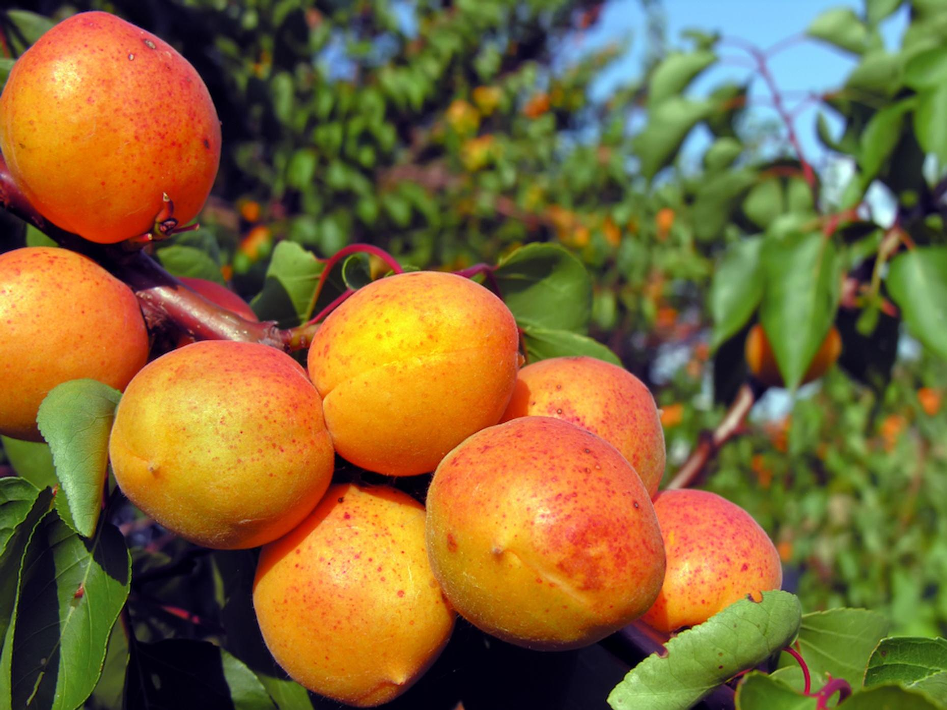 Morgan Hill Local Orchard Tour & Tasting