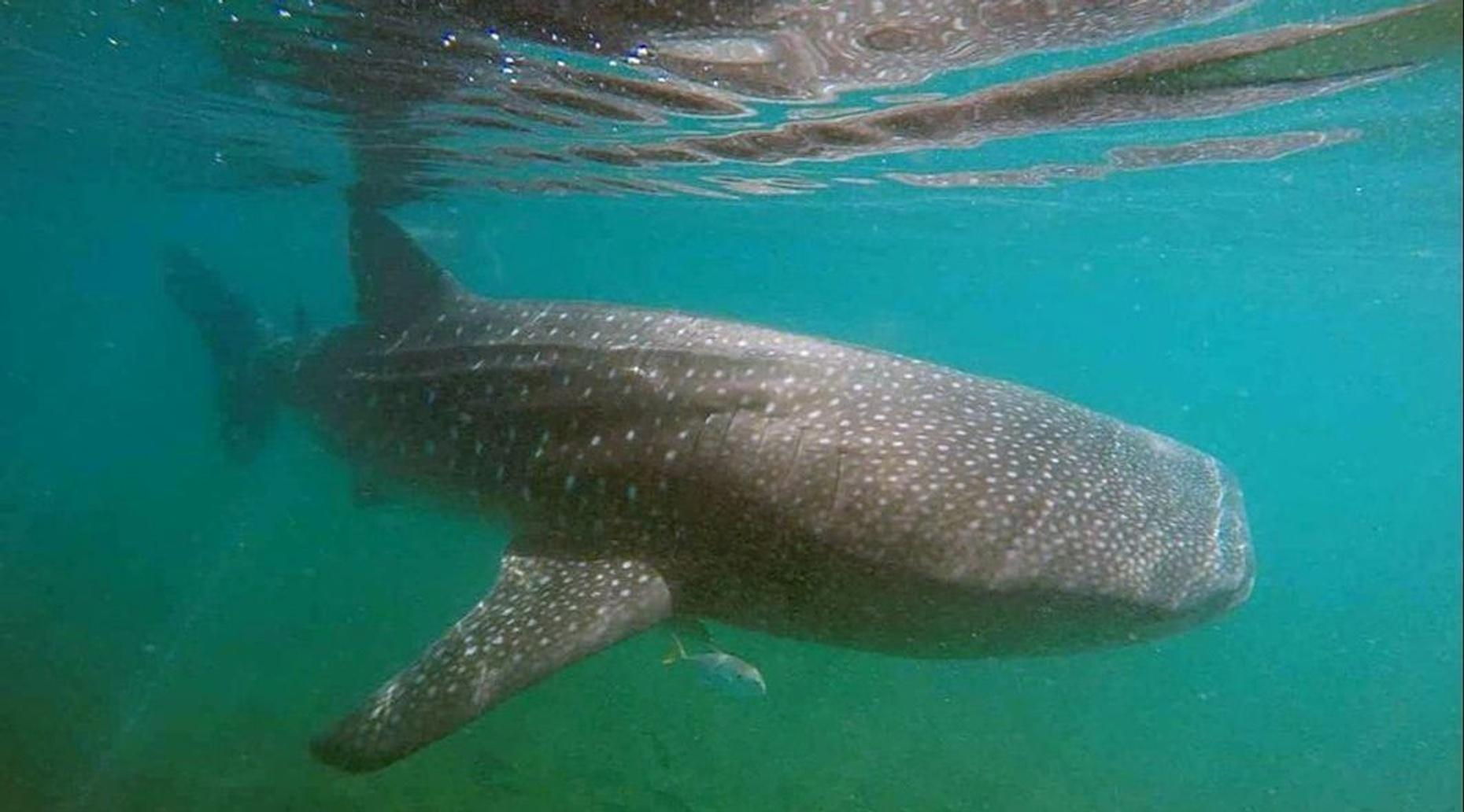 Whale Shark Tour & Swim