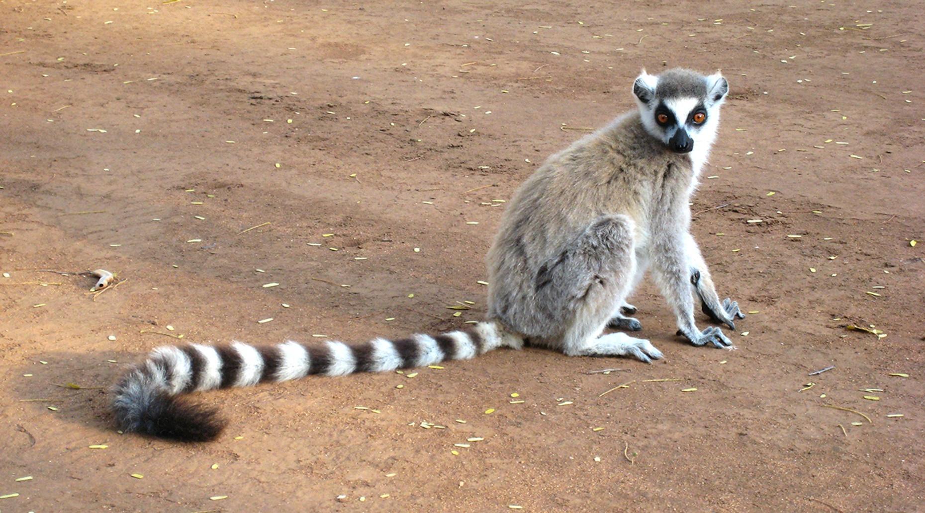 Kenansville Lemur Encounter