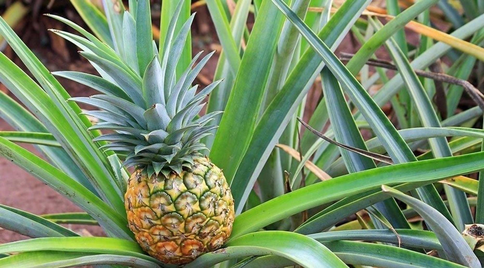 Oahu - Grand Circle Island, Kualoa Ranch & Dole Pineapple Plantation Tour