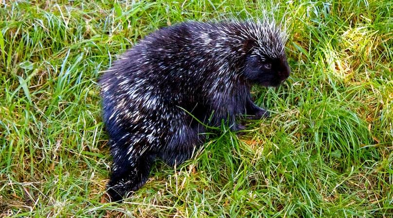 Kenansville Porcupine Encounter