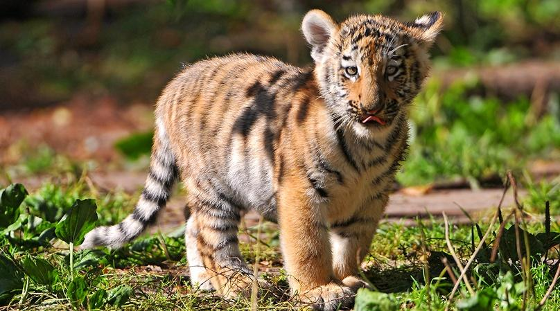 Tiger Cub Encounter in Miami