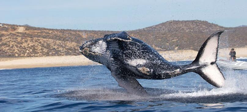 Whale-Watching Tour in Cabo San Lucas