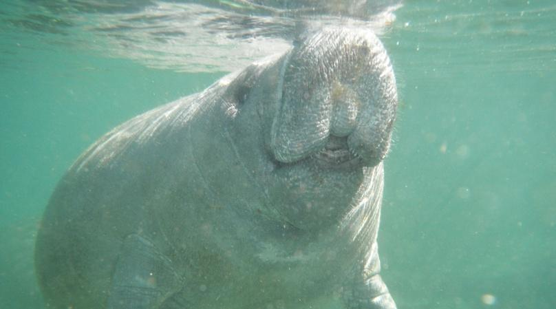 Three-Hour Swimming with Manatees Adventure in Crystal River