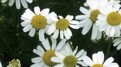 Study Shows Chamomile Capsules Ease Anxiety Symptoms