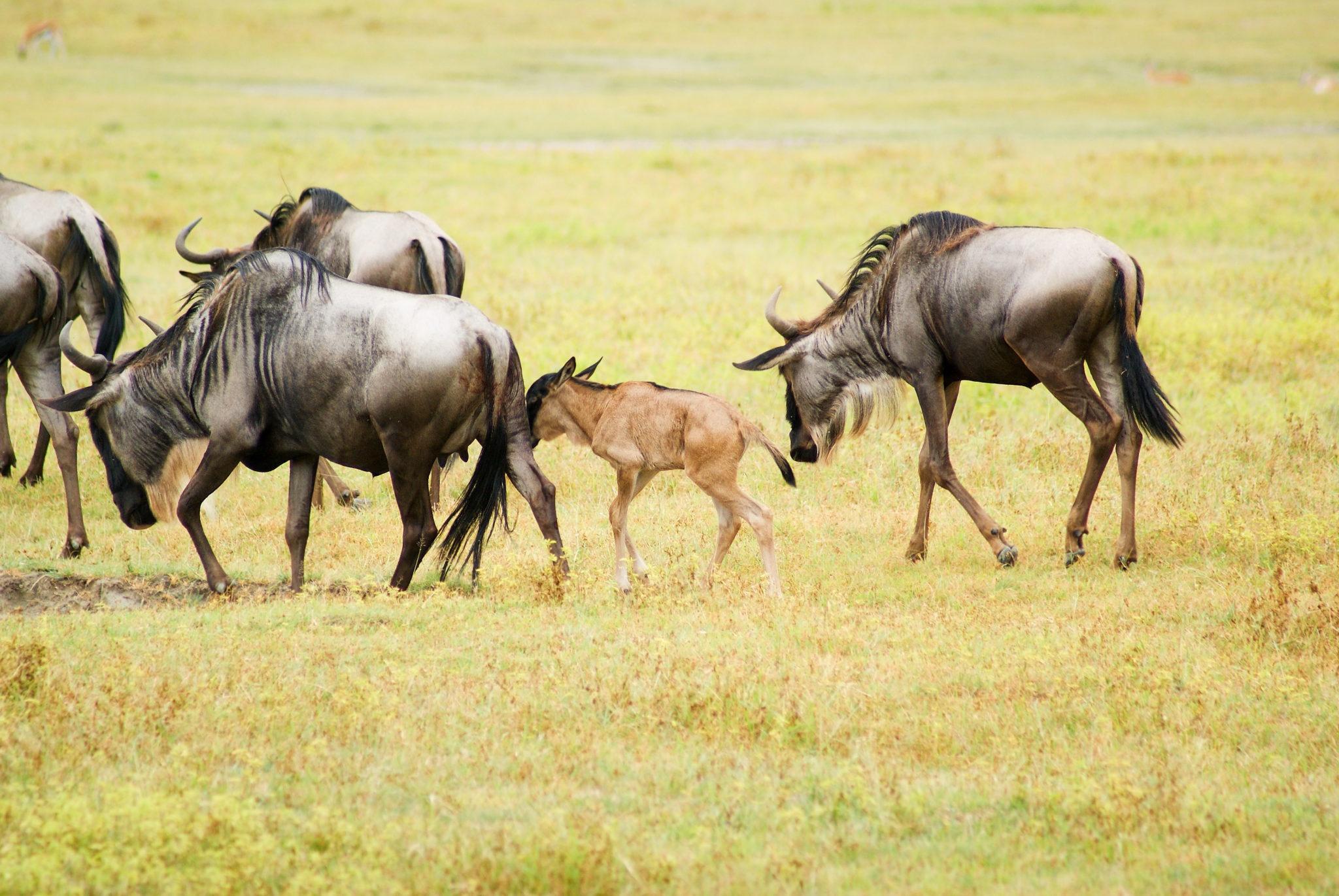 6 Days Wildebeest Migration Journey in July to September