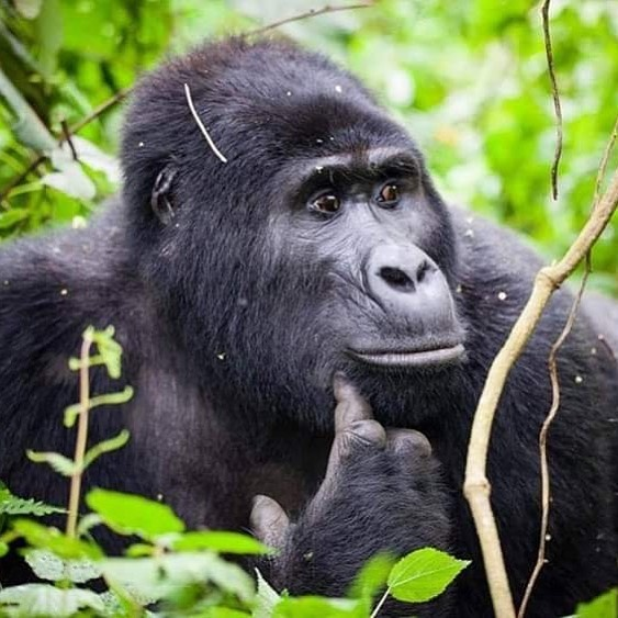 UGANDA GORILLA TREKKING VIA RWANDA