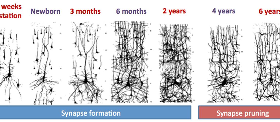 možganske povezave dojenčka, sinapse
