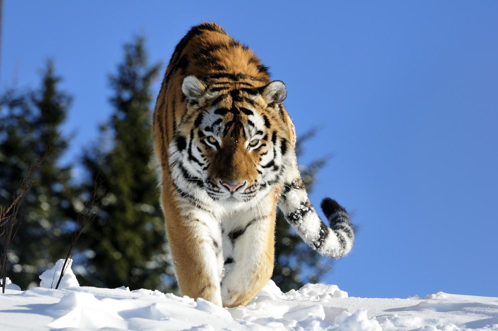 Tiger på Orsa Rovdjurspark i Orsa Grönklitt