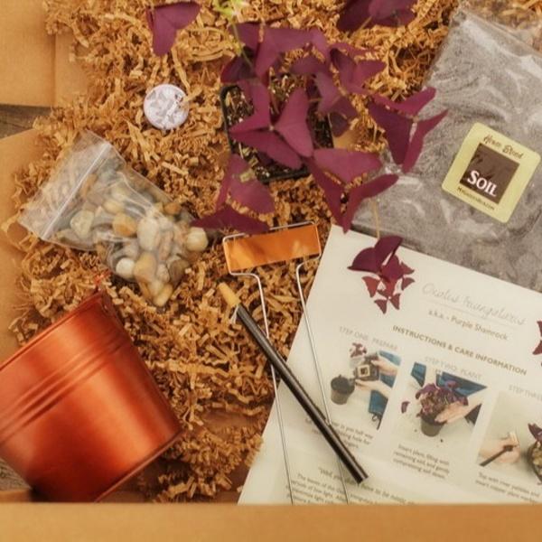 My Monthly Plant - Purple Shamrock