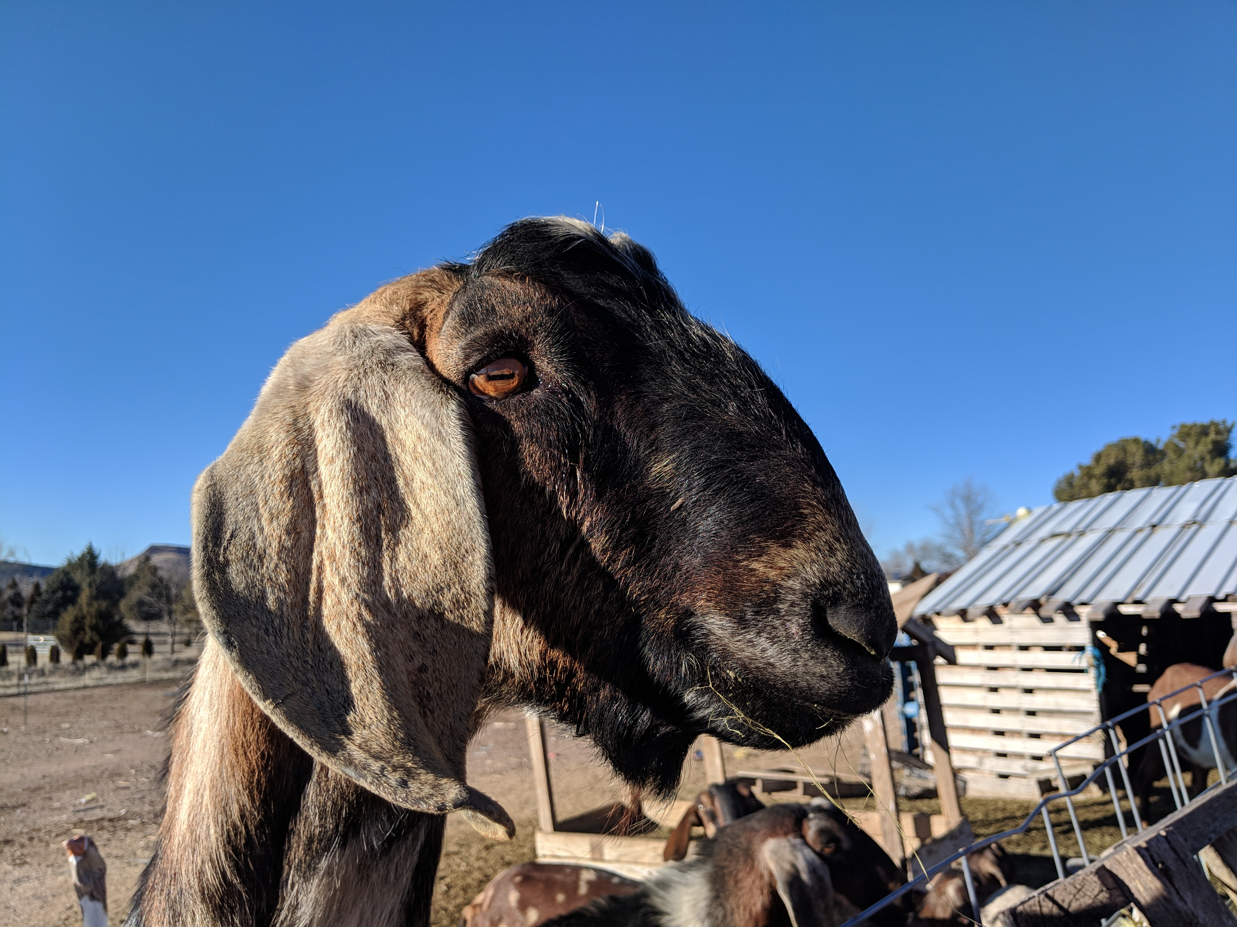 Raising Dairy Goats: Learning Common Breeds and the Basics | Small Online  Class for Ages 7-12 | Outschool