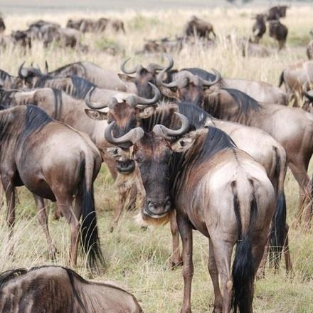 6 Days Amboseli Naivasha and Maasai Mara Camping Safari