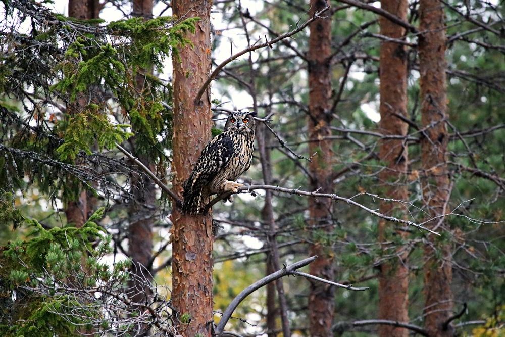 Berguvsunge som är frisläppt har satt sig i ett närliggande träd och betraktar sin nya frihet.