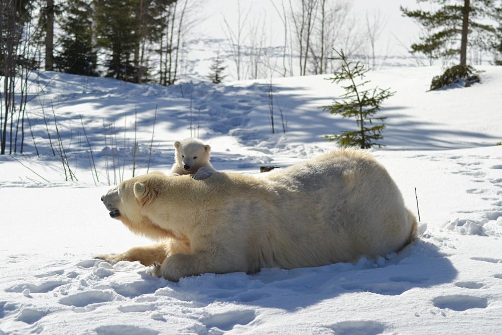 Isbjörnsungen busar runt ute i hägnet med mamma Ewa