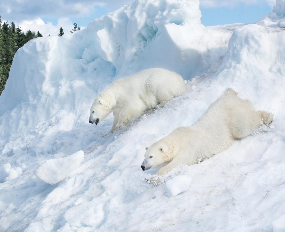 Isbjörnar som glider ner för snöhögen