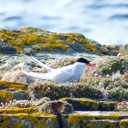 Arctic Tern resting at Brough of Birsay