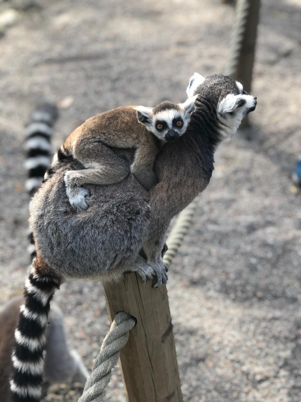 Ringsvanslemurunge på Parken Zoo född våren 2019