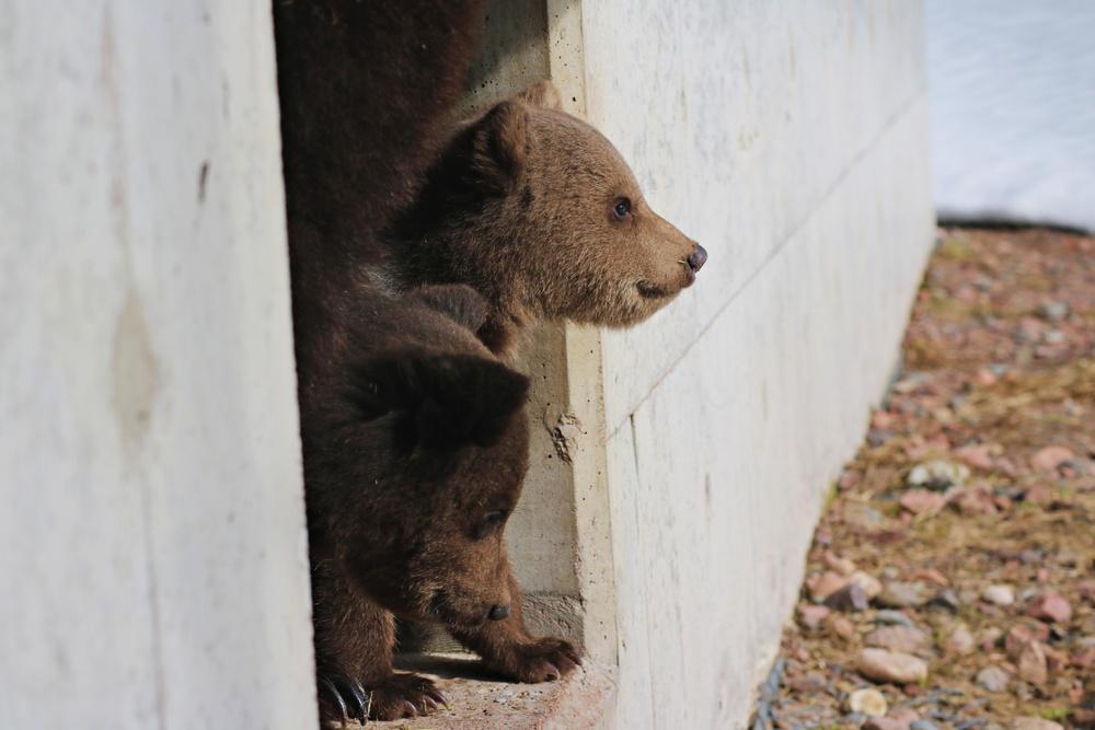 Ungarna tittar ut ur idet.