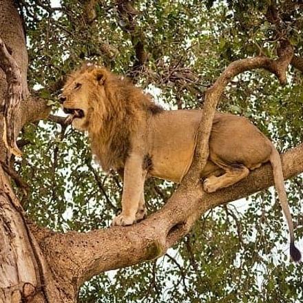 7-Day Murchison Falls, Kibale & Queen Elizabeth National Parks Adventure - Mid-range safari