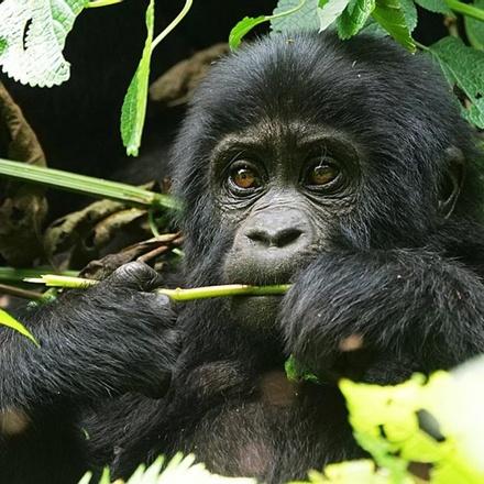 9-Days Mountain Gorillas, Chimpanzees Tracking & Uganda Wildlife Safari - Budget