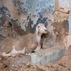 Goats 2, Synagogue, Gafsa, Tunisia, Chrystie Sherman, 7/11/16